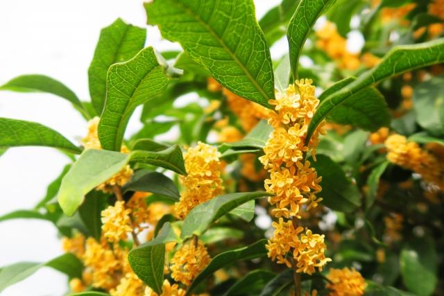 金木犀 の 香り と は